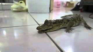 沙西米的鱷魚BB