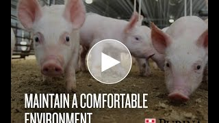 Swine Management: Maintain a Comfortable Environment