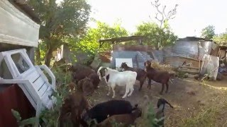 Boucs Boer Goats and cats, mes cabris et mes chats 19/ 07/15.