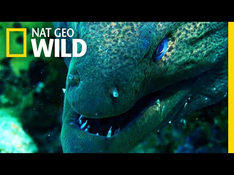 Xxx Mp4 Moray Eel Vs Whitetip Reef Shark Shark Vs Predator 3gp Sex