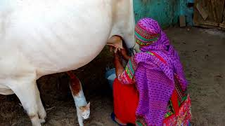 Village Woman Milking a Cow by Hand by Traditional Cow Milking Method