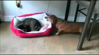 Compilation de chats qui volent le lit des chiens. Vraiment drôle !!!!