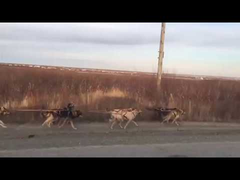 Xxx Mp4 Sled Dogs Pull Buggy Along Road In Alaska In 2016 3gp Sex