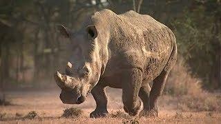 Sudan, the world's last male northern white rhino, dies in Kenya   ITV News