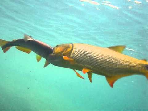 Dourado ataca piraputanga em Bonito MS