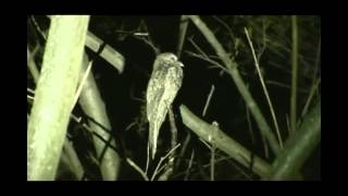 Potoo. Song of the night