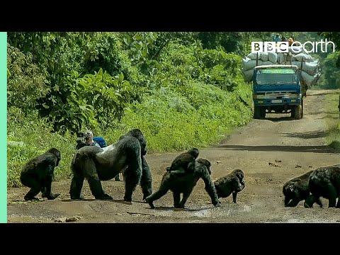Xxx Mp4 Silverback Gorilla Stops Traffic To Cross Road Gorilla Family And Me BBC Earth 3gp Sex