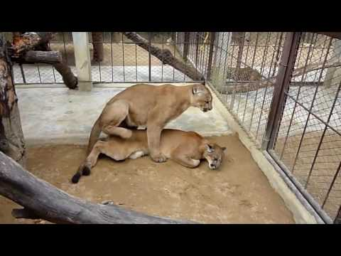 Xxx Mp4 Breeding Lion Tiger Horse Animal Mating Fast 3gp Sex