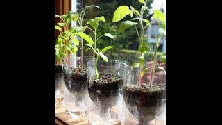 Self watering seed with plastic bottle