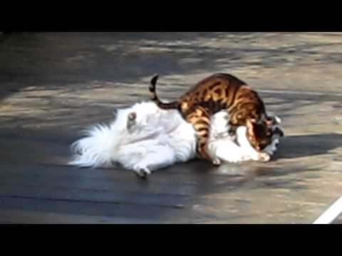 My Bengal cat cleans then SPRAYS the dog during a deadly fight
