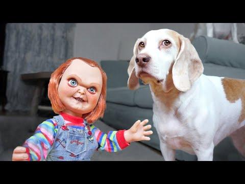 Xxx Mp4 Dogs Vs Lil 39 Big Chucky Prank Funny Dogs Maymo Penny Amp Potpie 3gp Sex