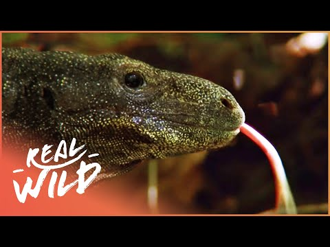 The Biggest Lizard In The World Real Wild Documentary
