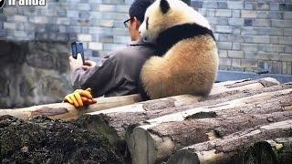 熊貓也愛自拍!頭放保育員肩 賣萌合照【大千世界】貓熊|青青|蔓越煤|冰冰|可愛動物|中國