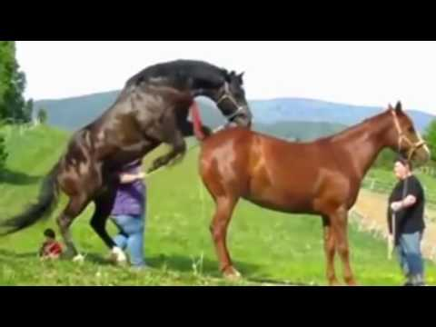 Horse Mating with Horse - Animals Having Fun With Each Other