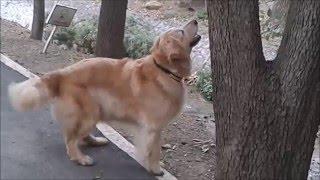 Funniest Cutest Golden Retriever Video Compilation 2016 HD - Cute Dog Videos