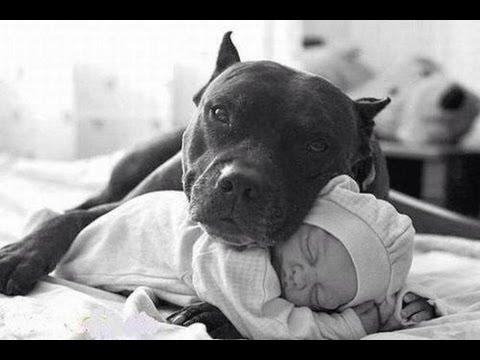 La realidad sobre el American Pitbull Terrier. ¡No soy lo que dicen no soy lo que aparento