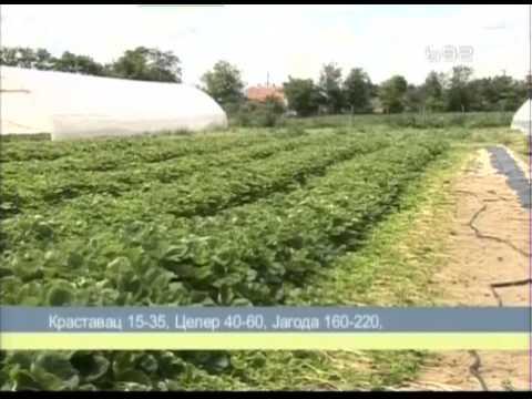Proizvodnja zivica jagoda u Bacu