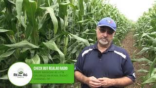 Corn School -  Northern Corn Leaf Blight
