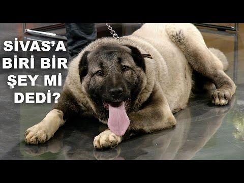 Çoban ve Kangal Köpekleri Canlı Yayında Habertürk TV'de