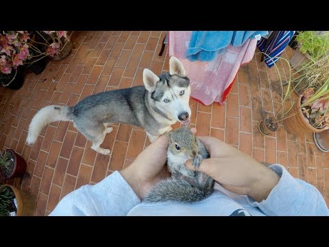Husky REALLY Wants to Meet Baby Squirrel Friends