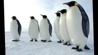 موسيقى رقصة البطريق   YouTube2