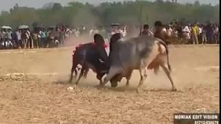 Sylheti Sharer Lorai || ষাড়ের লড়াই সাথে মানুষের লড়াই  || Sharer Lorai || Awesome Funny Video