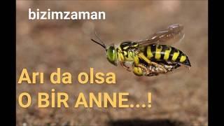 Yavrusunu taşıyan anne arı