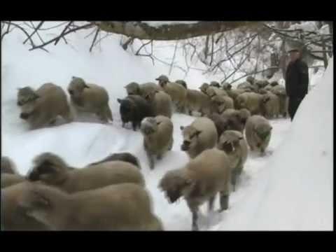 Uzgoj ovaca u selu Jasenovik na Svrljiskim planinama U nasem ataru 419.wmv