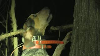 Alabama Public land Coon hunting  - full hunt