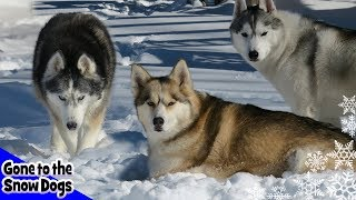 Top 10 Siberian Husky Videos of 2017   Year in Review 2017 Top Moments