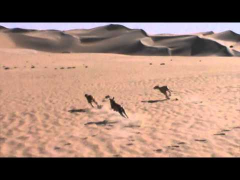 Desert hunting by saluki 9