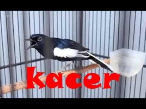 Khusus Kacer Mania | Asli Masteran Kacer Bakalan