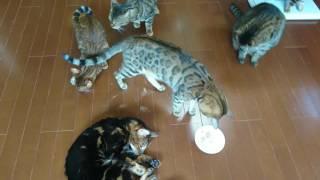ベンガル猫軍団&ミッキー君の撮影お疲れ様打ち上げマタタビパーティーその1