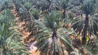 Date Farms of Saudi Arabia