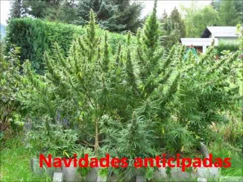 marihuana gigante grandes plantas