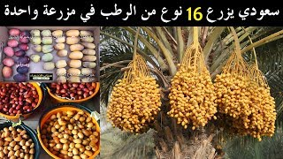 سعودي يزرع 16 نوع من الرطب في مزرعة واحدة | سناب الاحساء