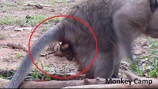Monkey giving birth, Baby monkey gone a way, RIP for baby monkey, Monkey Camp part 616