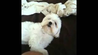 Maltese Zoe's Routine of Waking Up in the Morn