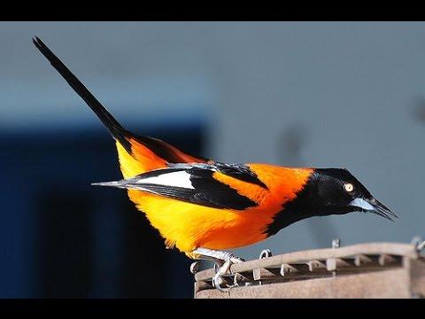 Burung Master : Campo Troupial, Paling Jago Bersiul