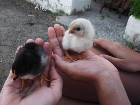 Gallos y gallinas.