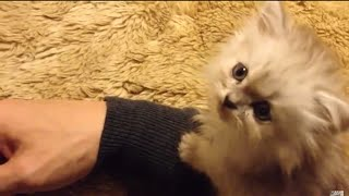 腕に乗る子猫 kitten on my arm