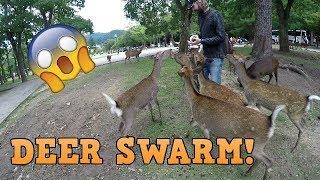 DEER SWARM!!   Visiting Nara Park