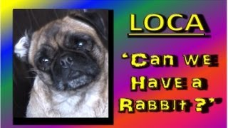 Loca the Pug 'Can we have a rabbit?