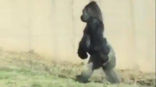 Hygiene-Conscious Gorilla Walks Around on 2 Legs to Keep His Hands Clean