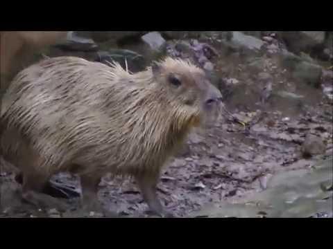 Capybara Mating Rituals at Nagasaki Bio Park 長崎バイオパークのカピバラ交尾