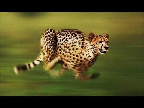 Xxx Mp4 Cheetah The Fastest Running Animal National Geographic Full Documentary 3gp Sex