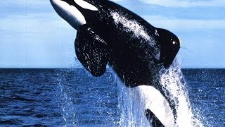 Realm Of The Killer Whales - HD Documentary