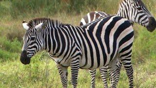 Are Zebras Black or White?