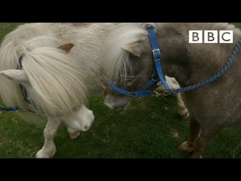 Mating Miniature Horses Ronnie s Animal Crackers Episode 1 BBC One