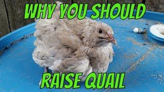 Why You Should Raise Quail